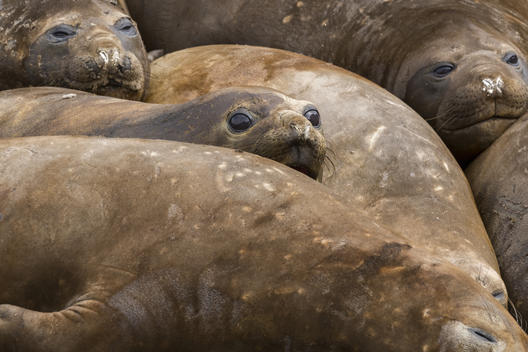 Elephant Seals On Elephant Island