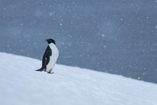 Adélie Penguin in the Antarctic