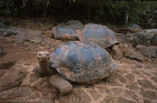 Giant Tortoise at Charles Darwin Research Station in Galapagos