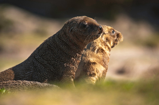New Zealand Sea Lion Pups in Enderby Island