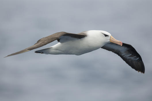 Black-Browed Albatross in the Southern Ocean