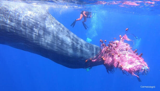 Sperm Whale Trapped in an Illegal Driftnet in Sicily - Video grab