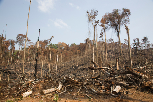 Burnt Trees in Jamanxim National Forest