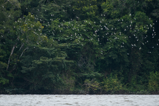 Birds Fly over the Tapajós River in the Amazon Rainforest