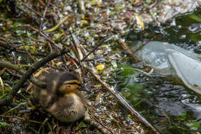 Duckling in the River Witham in UK
