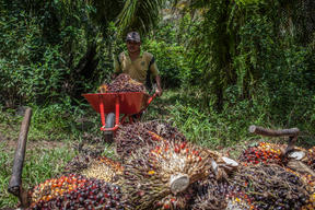 Palm Oil Farmer in Sanggau, West Kalimantan