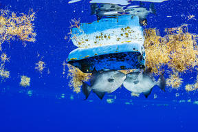 Fish and Plastic Debris in the Sargasso Sea