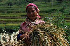 Yi Woman Harvesting Rice in Yunnan