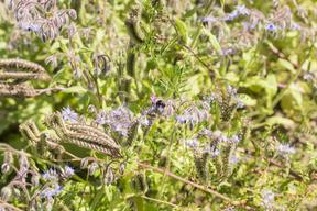 Borage and Phacelia in Germany