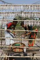 Drying Bombay Duck in India