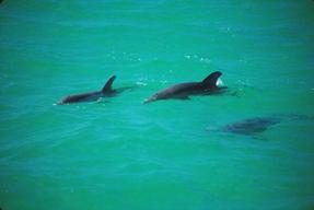 Dolphins off South Florida