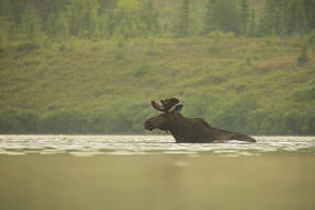Moose (Alces alces) in Canada