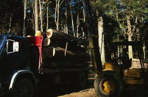Handling of cut Lenga trees for transport, Tierra del Fuego, Chile