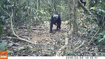 Chimpanzees in Ebo Forest, Cameroon