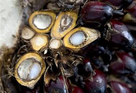 Palm Oil Kernels in Sumatra