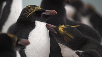 'Disappearing Penguins' Web Documentary (CLEAN)