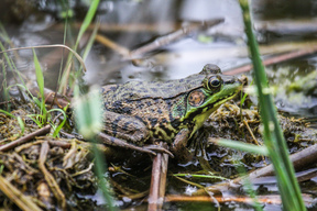 Leopard Frog in Canadian Boreal Forest