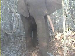 Elephant in Ebo Forest, Cameroon