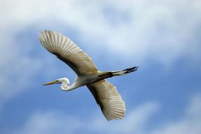 Heron flying in the Amazon