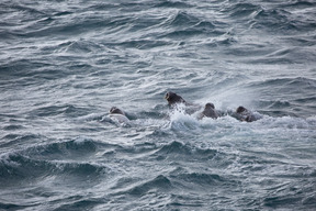 Walruses in the Barents Sea