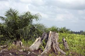Destroyed Forest and Young Palm in Sumatra