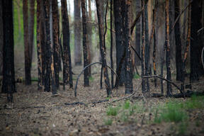 Forest Affected by Fires in Brandenburg