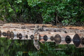 Monkeys Sit on Logs of Sago Trees in Sungai Tohor