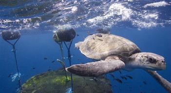 Turtle and FAD in East Pacific Ocean