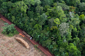 Logging Truck and Eucalyptus Plantation Macapa Brazil
