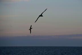 Giant Petrel in the Argentine Sea