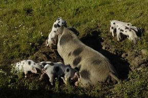 Piglets in Animal Park Arche Warder in Germany