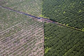 Acacia Plantation in Riau