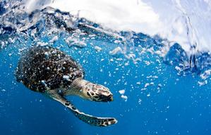 Hawksbill Turtle in Indonesia