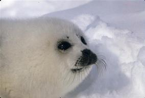 Young Harp Seal on Madeleine Isl.