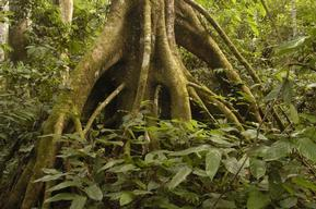 Tree in Rainforest in Africa