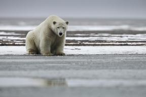 Stranded Polar Bear in Alaska