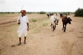 Cattle in Rajasthan