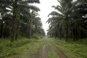 PAMOL Plantation in Cameroon