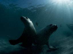 Sea Lions near Hopkins Island, South Australia