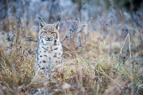 Eurasian Lynx in the Carpathians