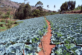 Cabbage Farm in Makueni County in Kenya