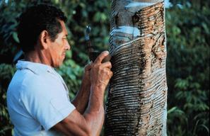 Rubber tapping in the Amazon, Para