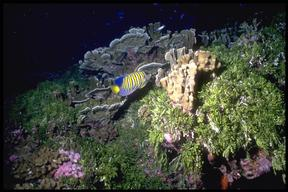 Marine life and coral reef off island of Merir, Belau Islands,  Pacific.
