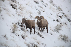 Bighorn Sheep in Yellowstone National Park
