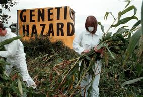 Greenpeace Activists Harvest 1 Ton of GE Novartis Maize in France