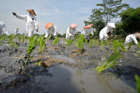 Toxic Pollution in Rice Paddy Action in West Java