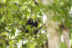 White-Cheeked Spider Monkey in Brazil