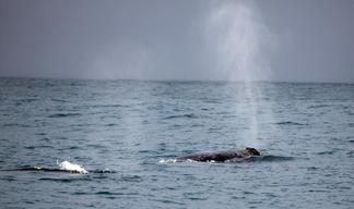 Whales Surface Near Shell Kulluk Incident