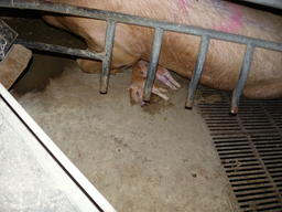 Gestation Cages at Factory Farm in Germany