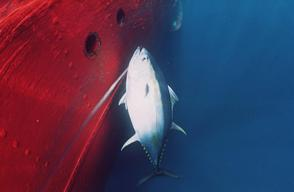 Big-eye Tuna on Longline in South Atlantic